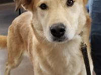 Samantha, a Labrador Retriever mix, is on the shy side.
