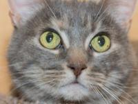 Samara is a 2 year old dilute tortie. She is a lap