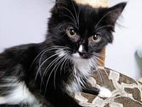 Sambo's story Sambo is a male stunning Tuxedo, fluffy