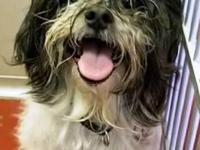 Name: Sammie  Primary Breed: Shih Tzu Gender: Male