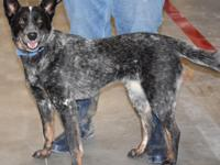 Meet Sammy, she is a beautiful cattle dog female that