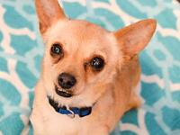 Sammy's story Sammy is a 4 year old, 5 lb chihuahua