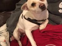 Sammy is a Chihuha mix--maybe with a little Shiba Inu