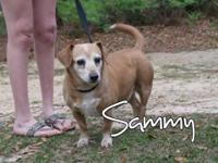 Sammy is an older dachshund rescued from PAWS. He is SO