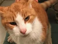 Sammy is a 10-12 yr old orange and white male tabby who