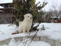 We have 3 female pure white samoyeds that will be ready