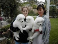 Animal Type: Dogs Breed: Samoyed Beautiful home raised