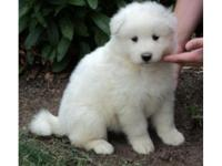 Samoyed Puppies looking for home. They are wonderful &