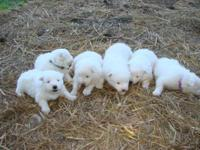 Both male and female Samoyed pups will be ready to go