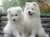 Hi, My family is looking for a Samoyed Puppy 8-12 weeks