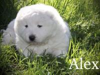 Alexa is a very sweet little fluff ball. She is current