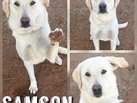 Samson's story Name: Samson Breed: Yellow Lab Date of