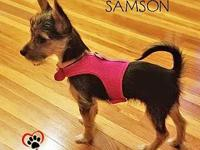Samson's story Samson, a TINY yorkie/chihuahua mix is