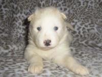 We have a Litter of Adorable Puppies (Mom AKC Samoyed &