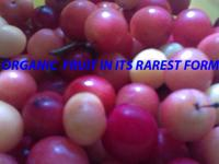 River side sand plums currently sales sand plum trees.