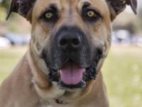 Meet Sandy #2, a sweet Mastiff that came to us after