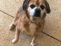 sandy female pug-beagle mix 5 years  includes neutered