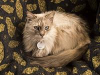 Sandy is a lilac-point with subtle Himalayan markings.