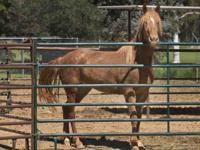 Sandy is a brown and white mare, about 2 years old.