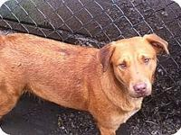 Sandy's story Sandy is a female Lab mix born about
