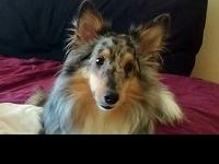 SanTan is an active 5 yr old male Sheltie who can be