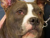 Sapphire is a 1 1/2 year old spayed female blue Pit