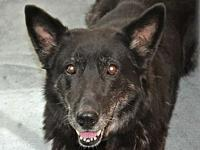My story Sara is a stunning 7 year old German Shepherd.
