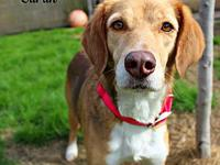 Sarah's story Sarah Female Beagle mix Approx 4 years