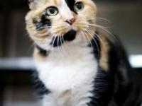 Sarah's story 9 years old Domestic Shorthair-Calico