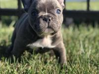 SARAH - FRENCH BULLDOG PUPPY FOR SALE,Beautiful AKC
