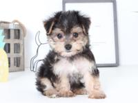 Sarge is the perfect Morkie to add to your home. He is
