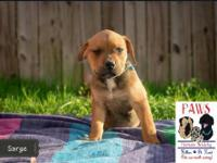 Sarge is a 2 month old Rottweiler/Pit Bull mix. He is