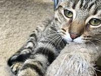 Saria's story Saria is a lovely brown tabby, female