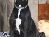 Sasha is a 3 yr old black Great Dane. She is AKC, but