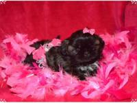 """SASHA"" ADORABLE AKC FEMALE shih-tzu avail to a pet"