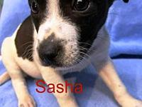 Sasha - Bev's story Breed guess: Terrier mix Age: 3