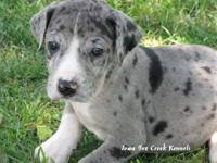 We have a pretty blue merle female AKC Great Dane