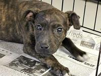Sasha's story Meet Sasha, she is a Plott Hound mix,