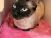 Sasha is a beautiful petit Siamese cat.  She came in