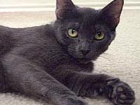 Sasha's story Sasha is a gorgeous Russian Blue female