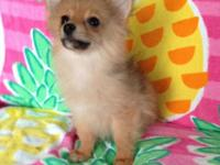 Sassy is an adorable 13 week old female Pomeranian. She