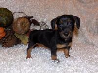 Sassy is a black & tan MINI dachshund female pup. I