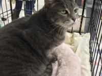 Sassy is a grey 12 year old female domestic short hair.