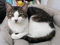Sassy's story Sassy is a domestic shorthair who was