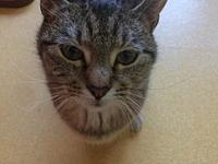 Sassy's story Sassy Age: 2-3 years old DSH/Spayed