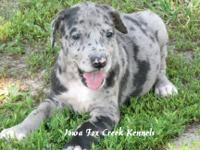 We have a pretty blue merle AKC Great Dane puppy, born