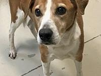 Sassy's story Sassy is a brown and white female Cur,