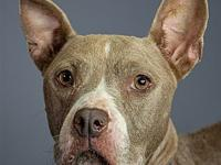 My story My name is Sassy. I'm a 46lb Female Pit mix