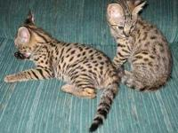 Savanna kittens gets along well with other Savanna