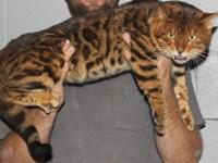 Savannah / Bengal Kittens ready for Christmas. Big